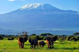 Elephants with Kili as backdrop