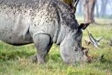 Rhino in the rain