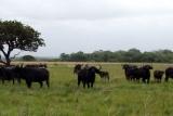 Buffalo-herd-hluhluwe-imfolosi