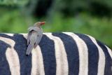 Red-billed-oxpecker-hluhluwe-imfolozi park