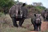 White rhino family hluhluwe