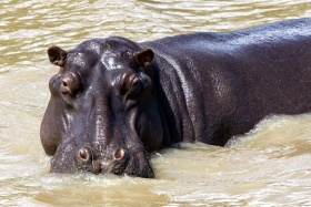 There's plenty of hippo at Lake St. Lucia, Isimangaliso
