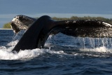 Humpback whale-sodwana bay