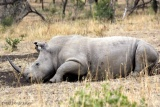 White rhino enjoying a mudbath at phinda game reserve