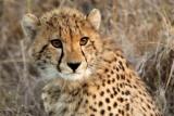 Young cheetah at phinda game reserve