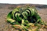 Welwitschia2