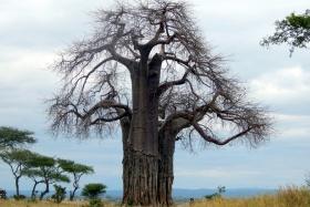 Baobabs of Tarangire