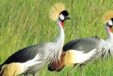 Crested cranes at tarangire safari lodge