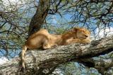 Lake manyara sleeping lion
