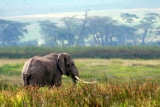 Ngorongoro bull elephant