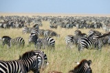 Sea of zebra