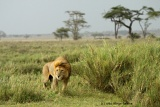 Male lion, Serengeti