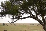 Up in a tree, Ndutu