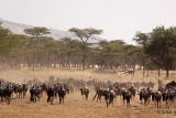 Wildebeest of Ndutu