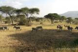 Ndutu zebra grazing
