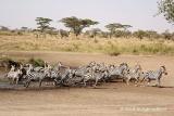 Zebra on the move, Ndutu