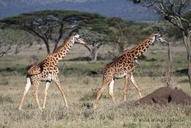 Ndutu giraffes