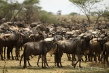 Ndutu, herd of Wildebeest