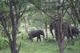 Elephants amongst the trees at Serengeti