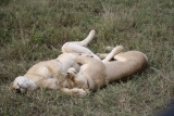 Lolling lions at Serengeti