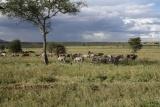Zebra at Serengeti