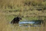 Buffalo, Katavi - image by Calle v H