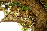 Katavi leopard - image by Brian Harries
