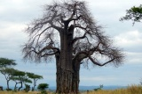 Ancient baobabs of tarangire