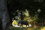 Mana-pools-shady-elephant