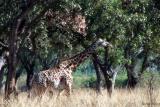 Endemic thornicroft giraffe