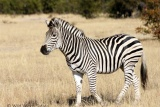 Zebra at Hwange
