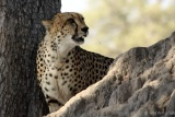 Shy cheetah at Hwange