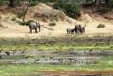Elephants stroll at Mana Pools