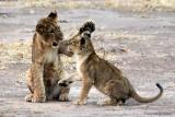 Playful cubs at Mana Pools