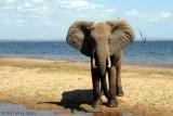Elephant on shores of Lake Kariba