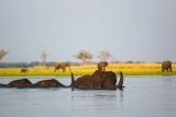 Elephants crossing lower zambezi