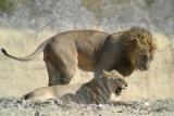 Lions in Etosha by Frank Vassen