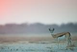 Etosha antelope