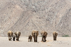The desert elephants of Namibia, Skeleton Coast