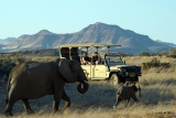 Desert-adapted elephants, Torra Conservancy, Kunene, Namibia