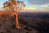 Quiver tree overlooking fish river canyon
