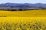 Fields of canola, overberg, western cape