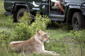 Lion on game drive, Phinda Private Reserve