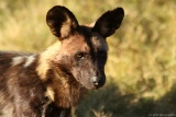 Kwando is known for wild dog sightings