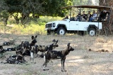 Open-vehicles-wild-dogs