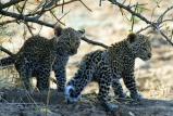 Remote Africa Safaris leopard