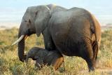 Bateleur-camp-elephant-baby, maasai mara