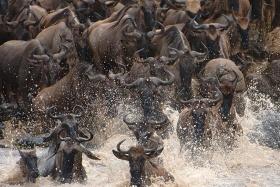 Kichwa tembo great migration,  Maasai Mara