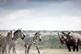 Solio lodge rhino-zebra