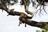 Lion in tree at  the emakoko